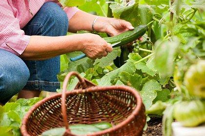 5个简单的步骤即可在家中种植和收获黄瓜